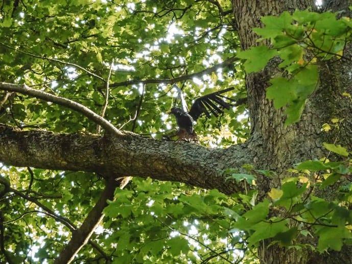Faringdon Folly Wood Blackbird