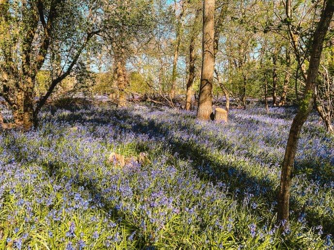 Bluebells in Swindon Hagbourne Copse