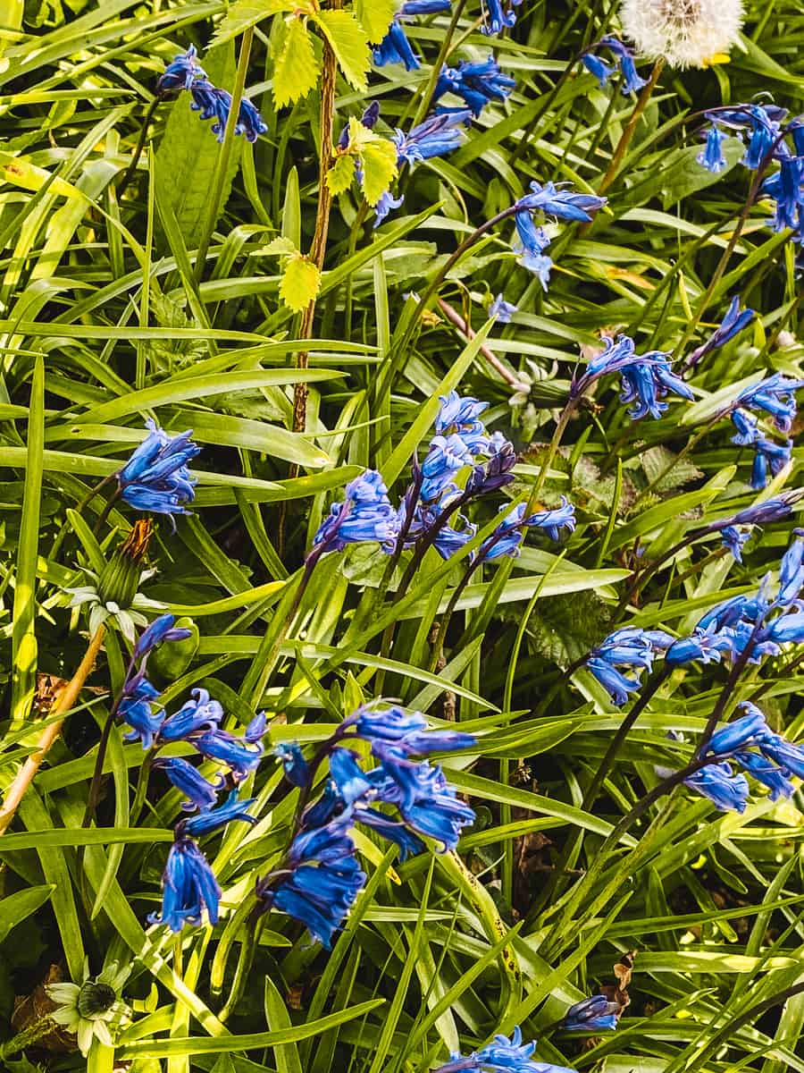 Bluebells of Hagbourne Copse Swindon