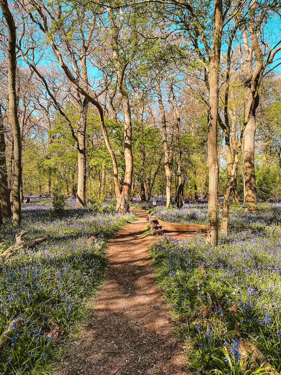 Hagbourne Copse Bluebell Wood Swindon