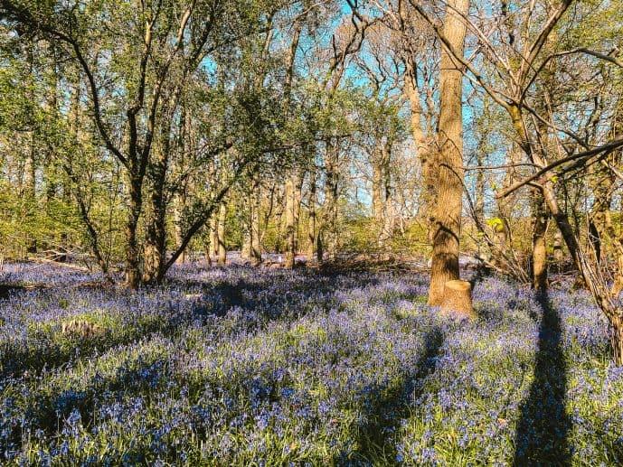 Hagbourne Copse Nature reserve bluebells