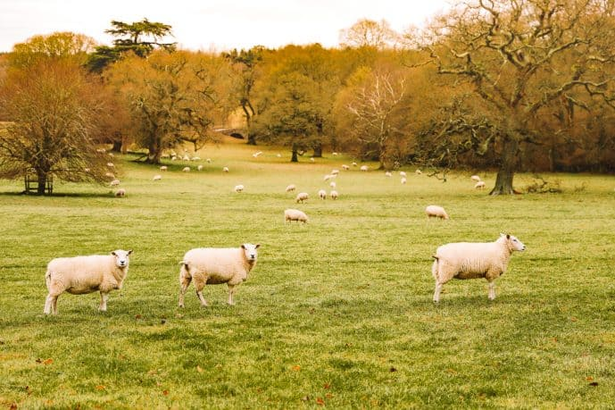 Highclere Castle park sheep