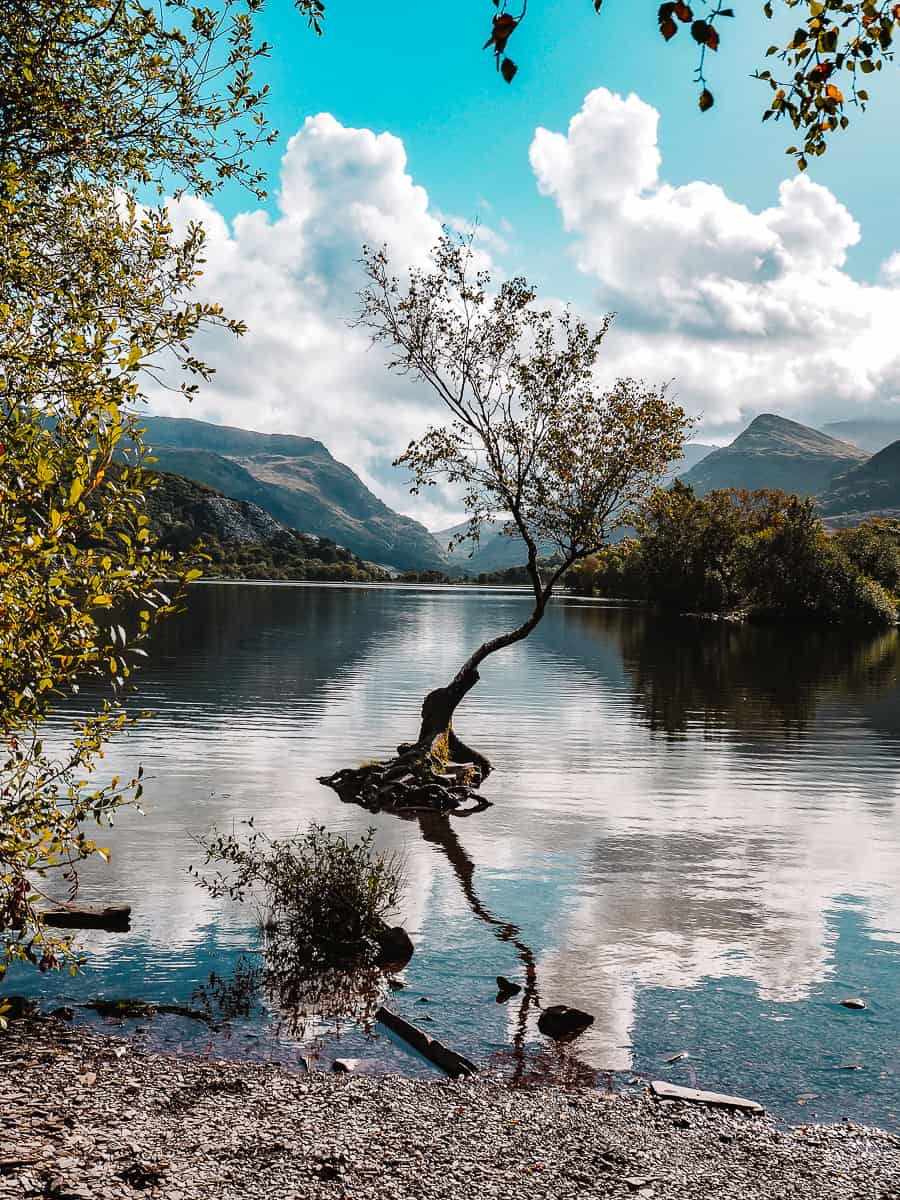 Lone Tree of Snowdonia Llyn Padarn