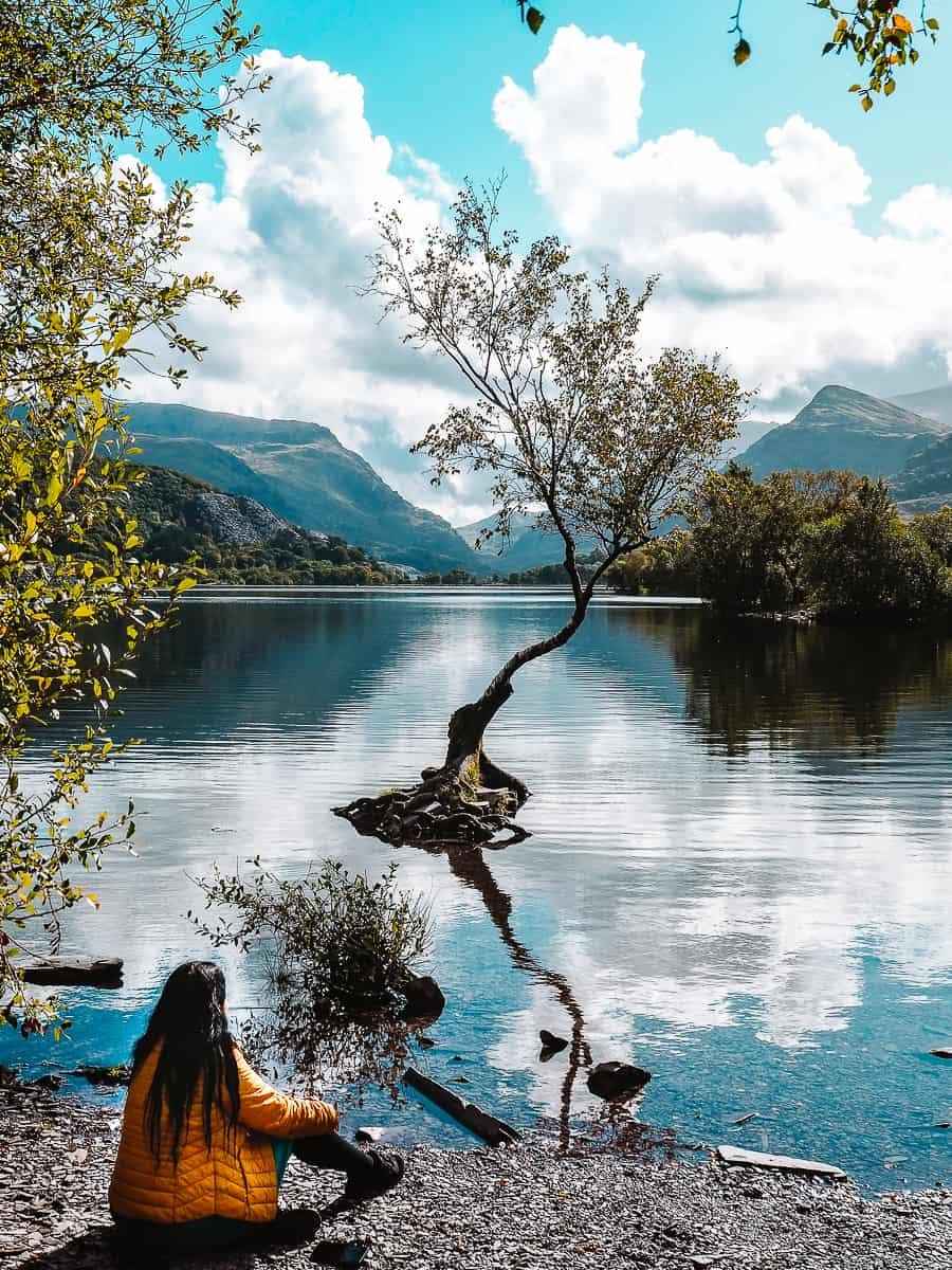 Lonely Tree Snowdonia Llanberis Llyn Padarn
