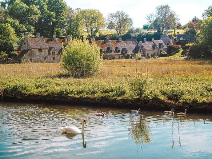 Swans in the River Coln | things to do in Bibury Cotswolds